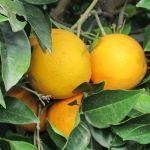 Arance di Ribera Sicilia BIO pacco 11kg