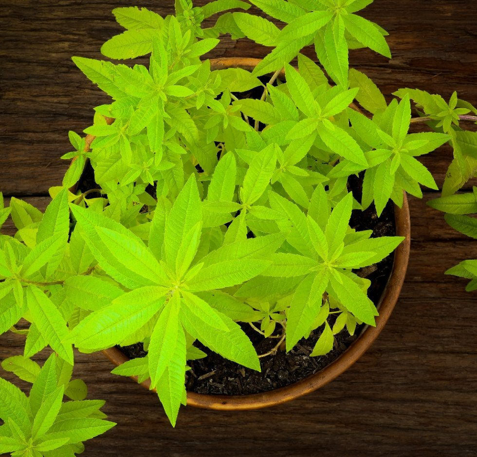 Limoncina Erba Luigia pianta aromatica in vaso