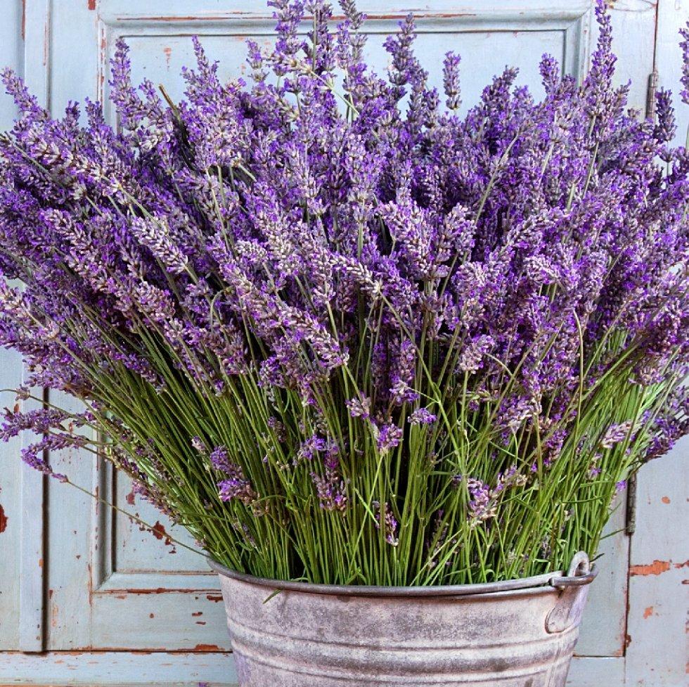 Lavanda pianta aromatica in vaso per cucina prezzo e for Pianta lavanda in vaso
