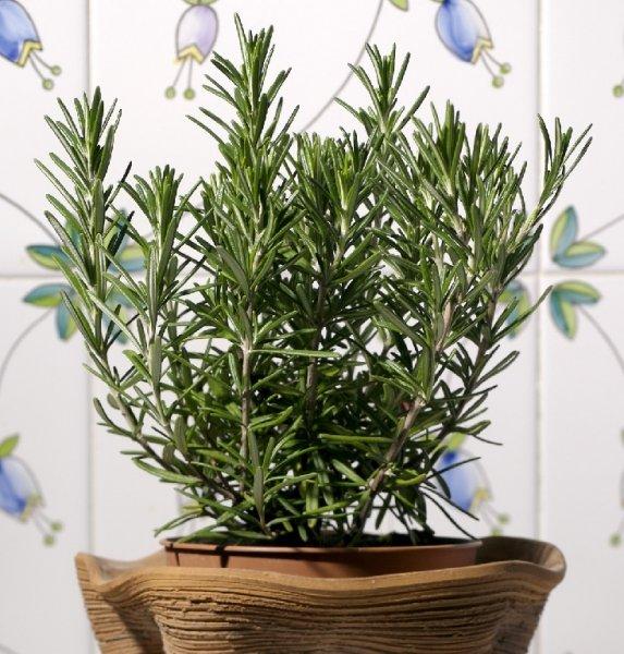 Rosmarino pianta aromatica in vaso per cucina: prezzo e vendita online