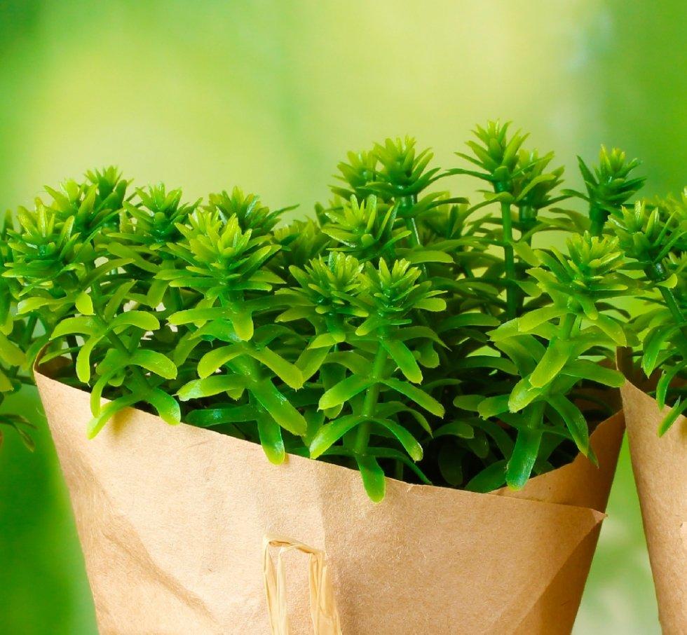 Timo pianta aromatica in vaso per cucina: prezzo e vendita online