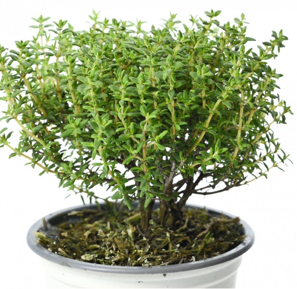 Timo Nytidus pianta aromatica in vaso per cucina: prezzo e vendita ...